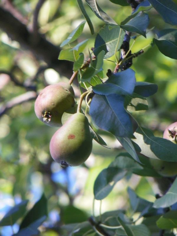 Pear Tree at Homestead