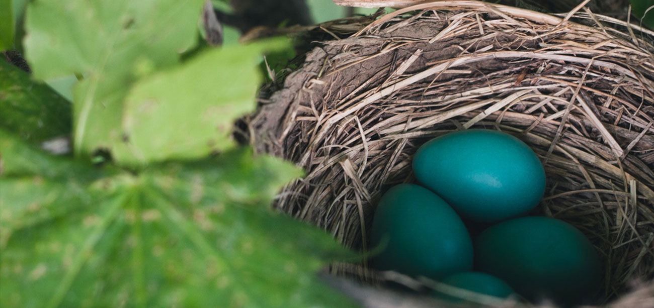 Blue Bird Eggs in Nest