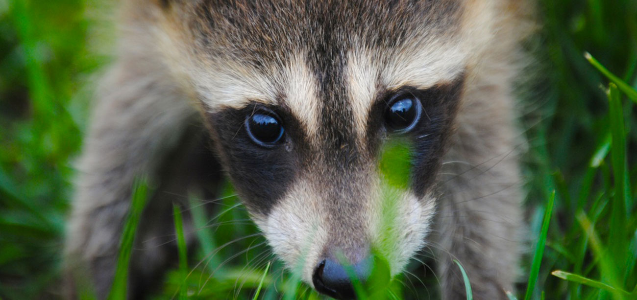 Face of Baby Raccoon