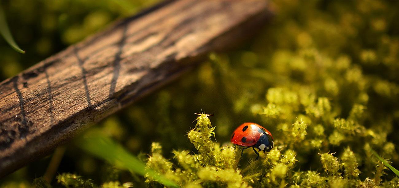 Ladybug in Moss